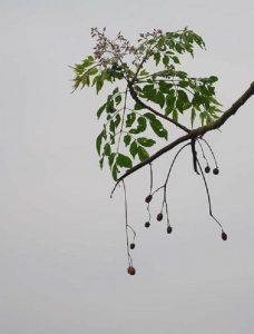 các bộ phận của cây xoan đều có thể gây hại đến tính mạng con người