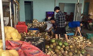 Những công nhân đang tẩm hóa chất làm trắng dừa trước khi đưa vào resort
